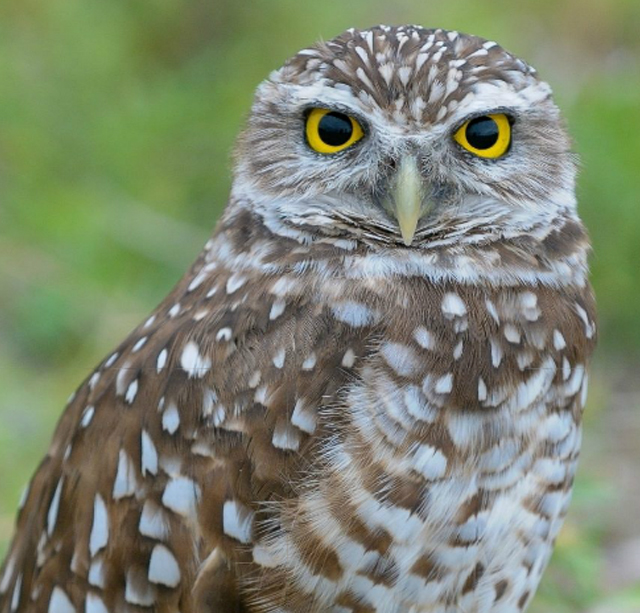 Earthcam: Florida's Burrowing Owl